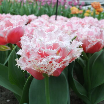 Netherlands Travel Tips: Keukenhof Gardens