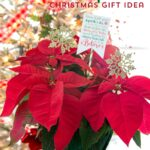 Poinsettia Christmas Neighbor Gift Ideas